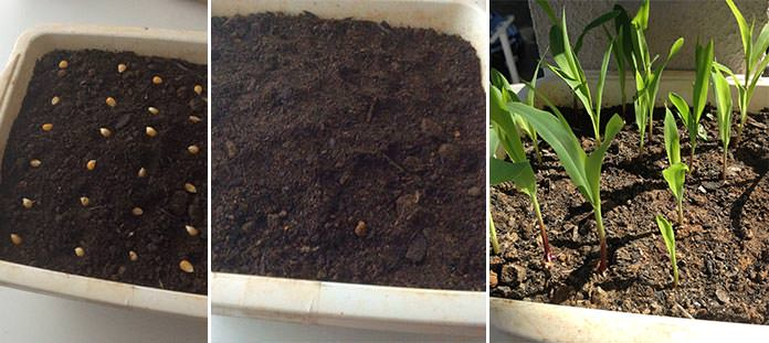 Plantando sementes direto no vaso