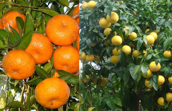 Frutíferas cítricas