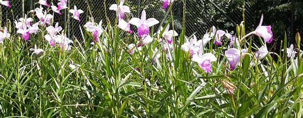Orquídea Bambu - Arundina