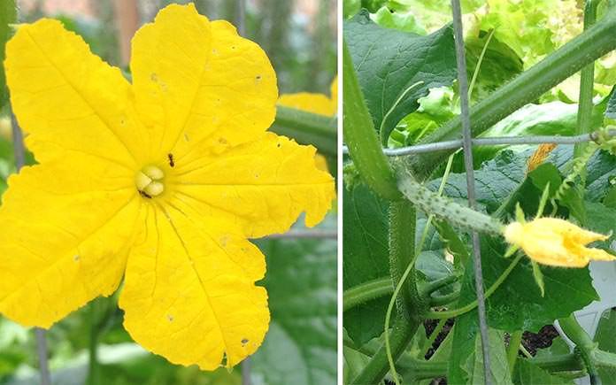 Flores se tornando pepinos