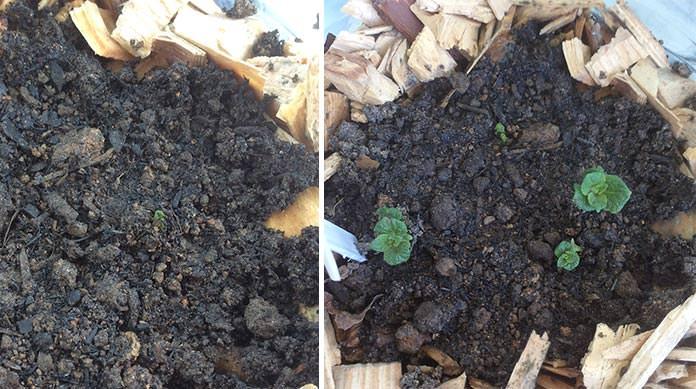 Batatas crescendo