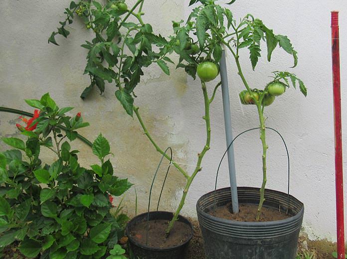 Exemplos de tomates plantados em vasos