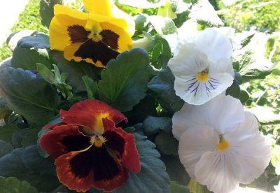 Está frio? Plante Amor Perfeito, uma das mais belas flores do mundo
