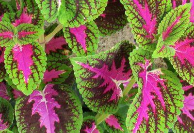Cóleus: como plantar e fazer mudas