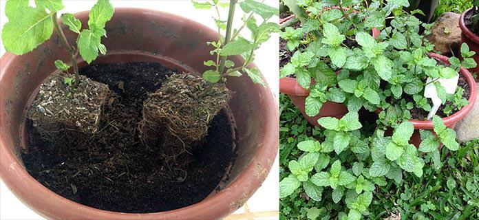 Hortelã plantadas em vaso