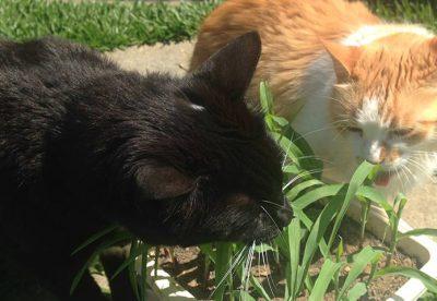 Dica: que tal produzir a graminha dos gatos (e cães) com Milho de pipoca ou Alpiste?