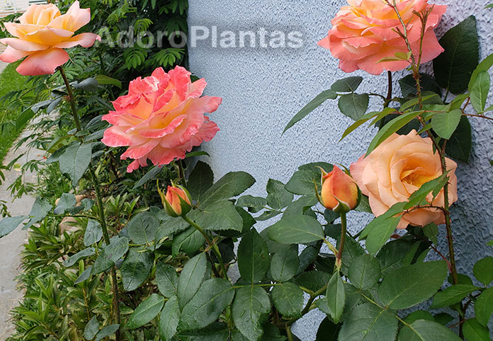 Fotos de rosas da cor salmão