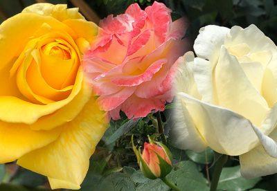 Roseiras: Como cuidar, fazer mudas e ter rosas sempre